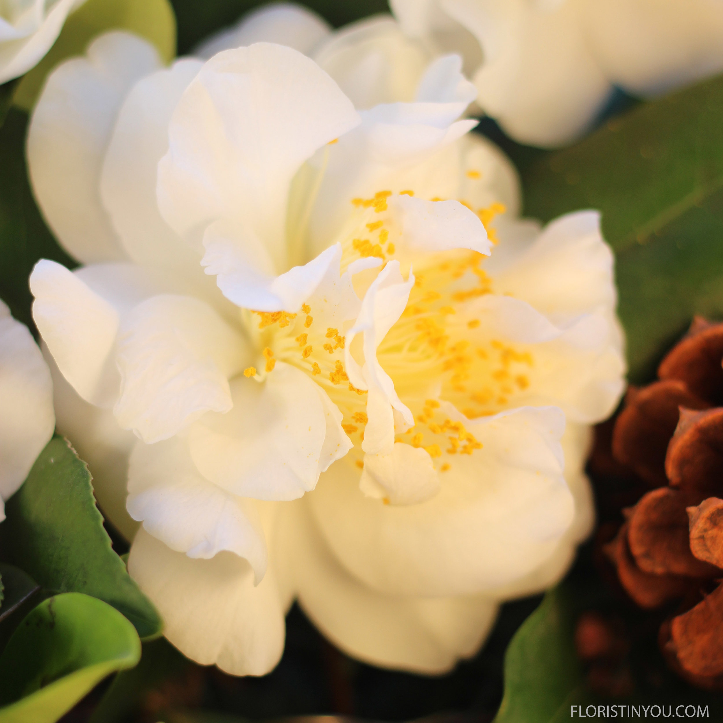 Camellia blossoms have almost a dream like quality to them.