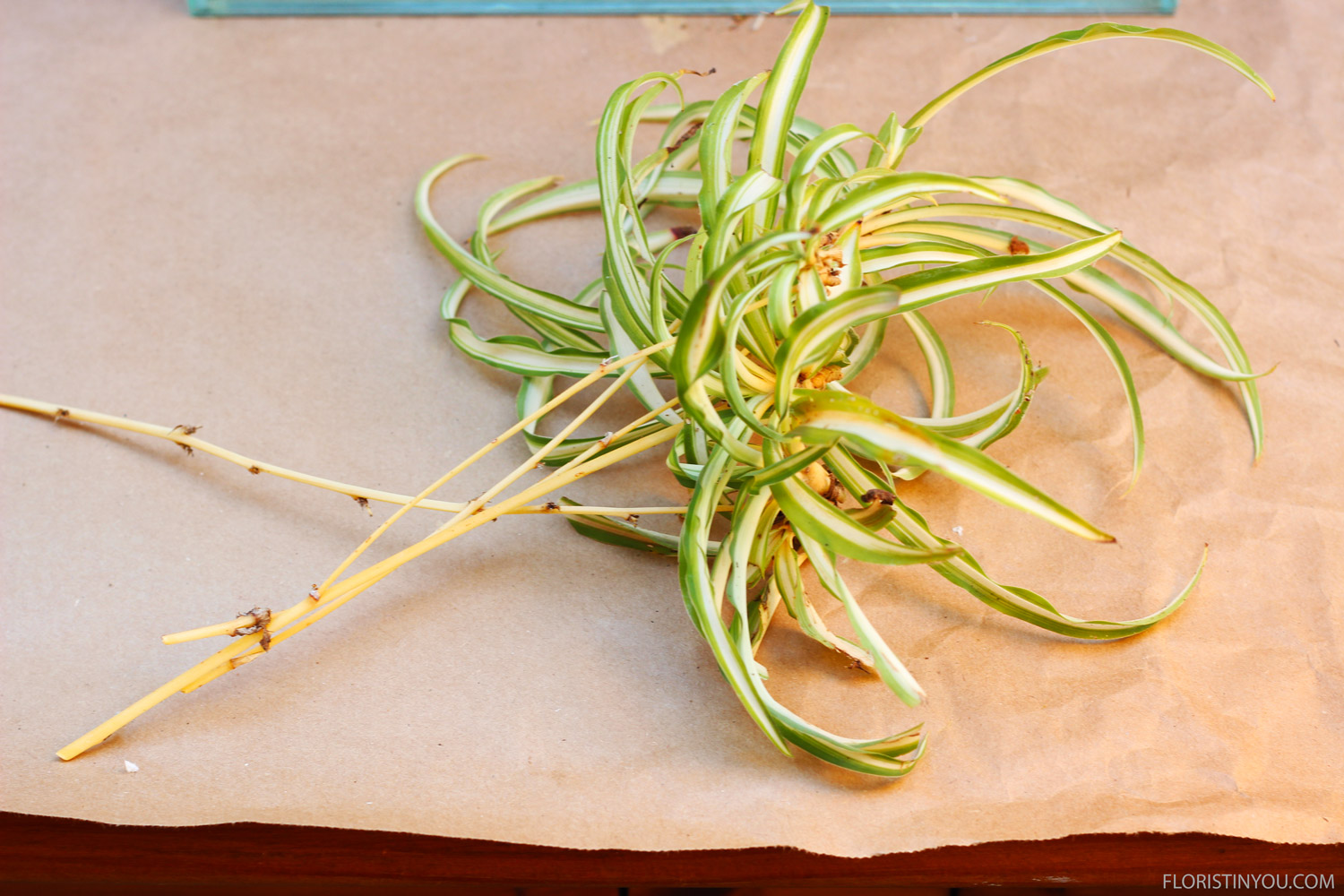 Cut 4 medium Spider Plants with runners stems on. Leave stems about 4 inches long.