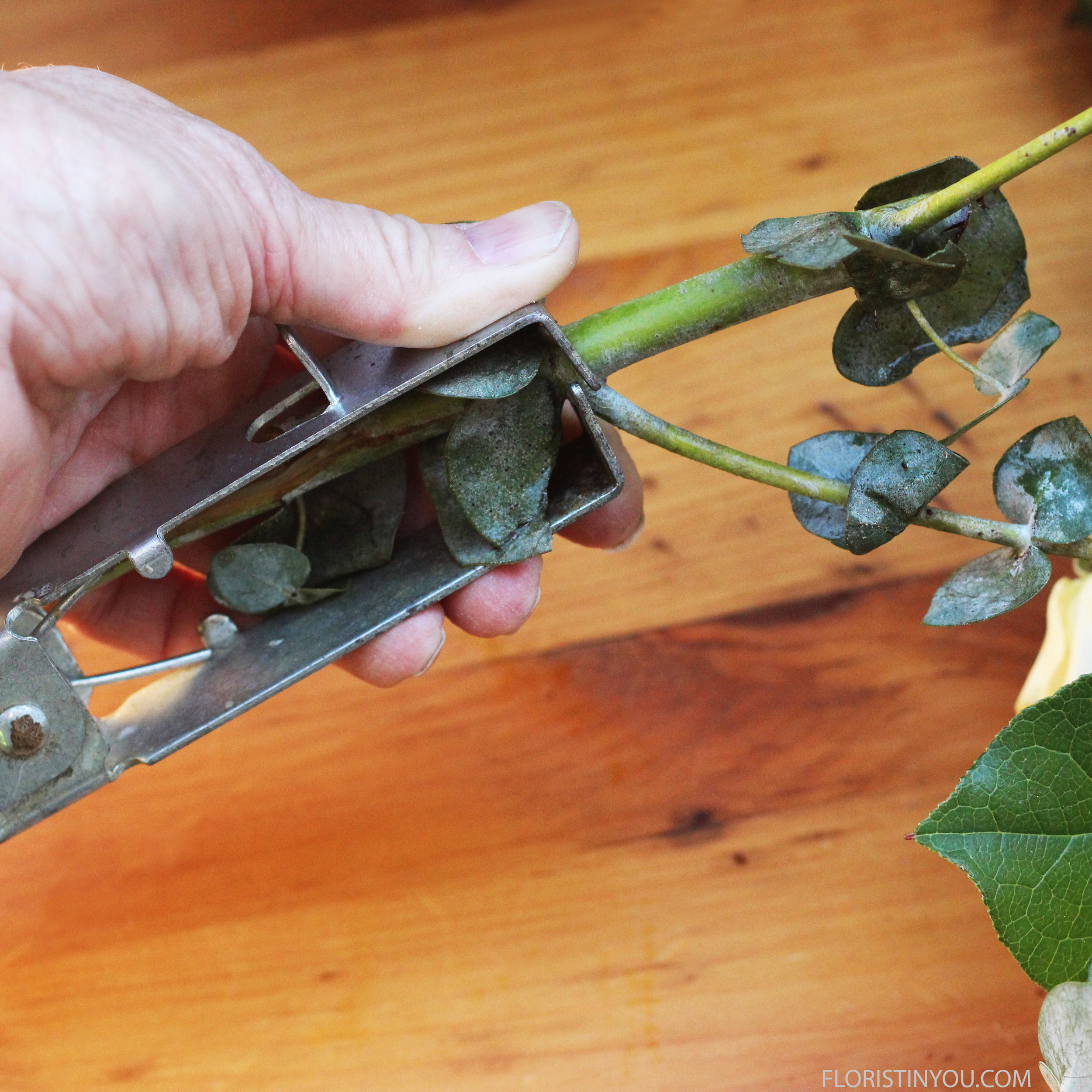 Remove bottom leaves of Eucalyptus stems.
