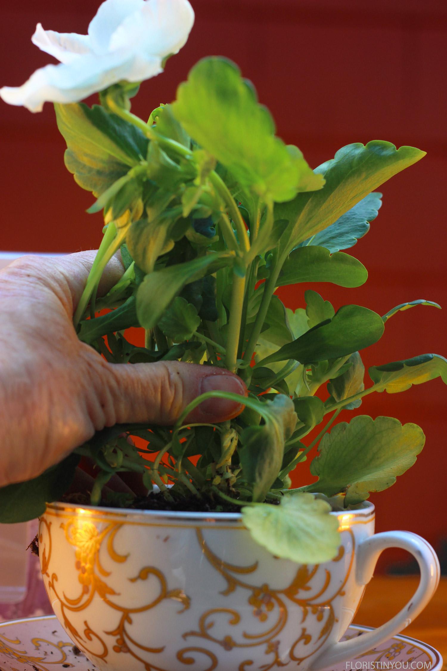 Plant pansy.