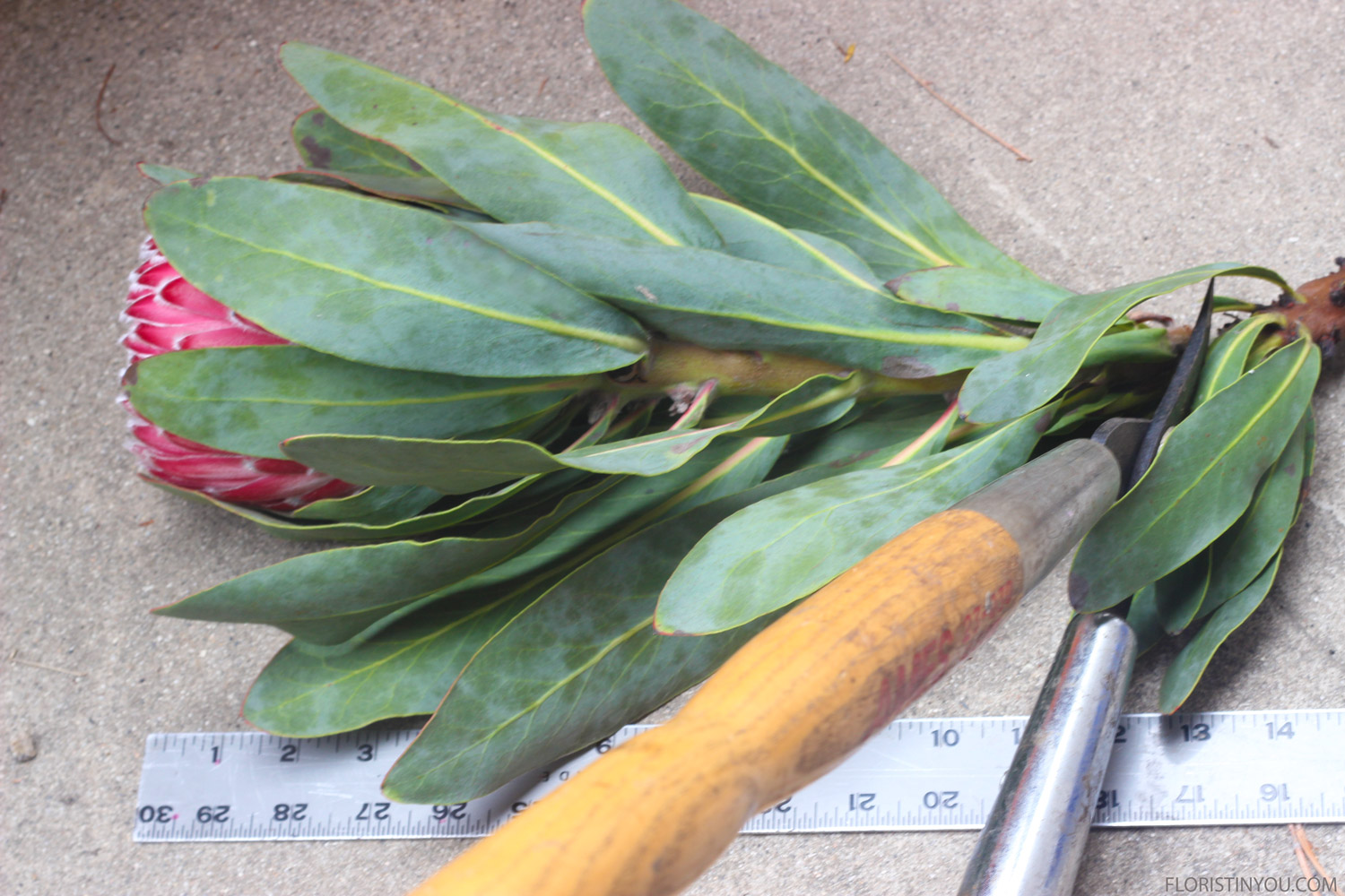 Cut Protea about 13 inches with a lopper.
