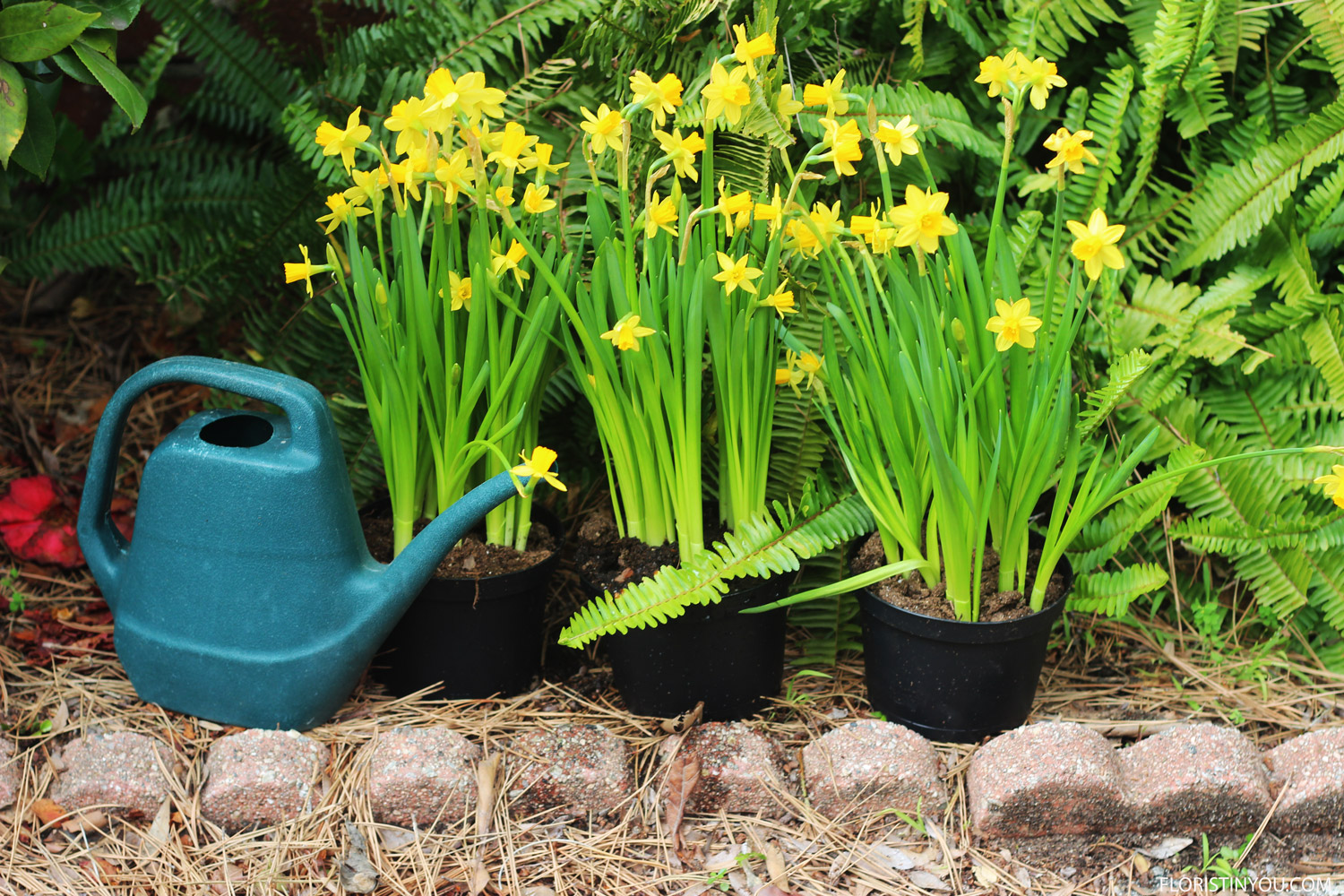 Give your mini daffodils a drink before planting.