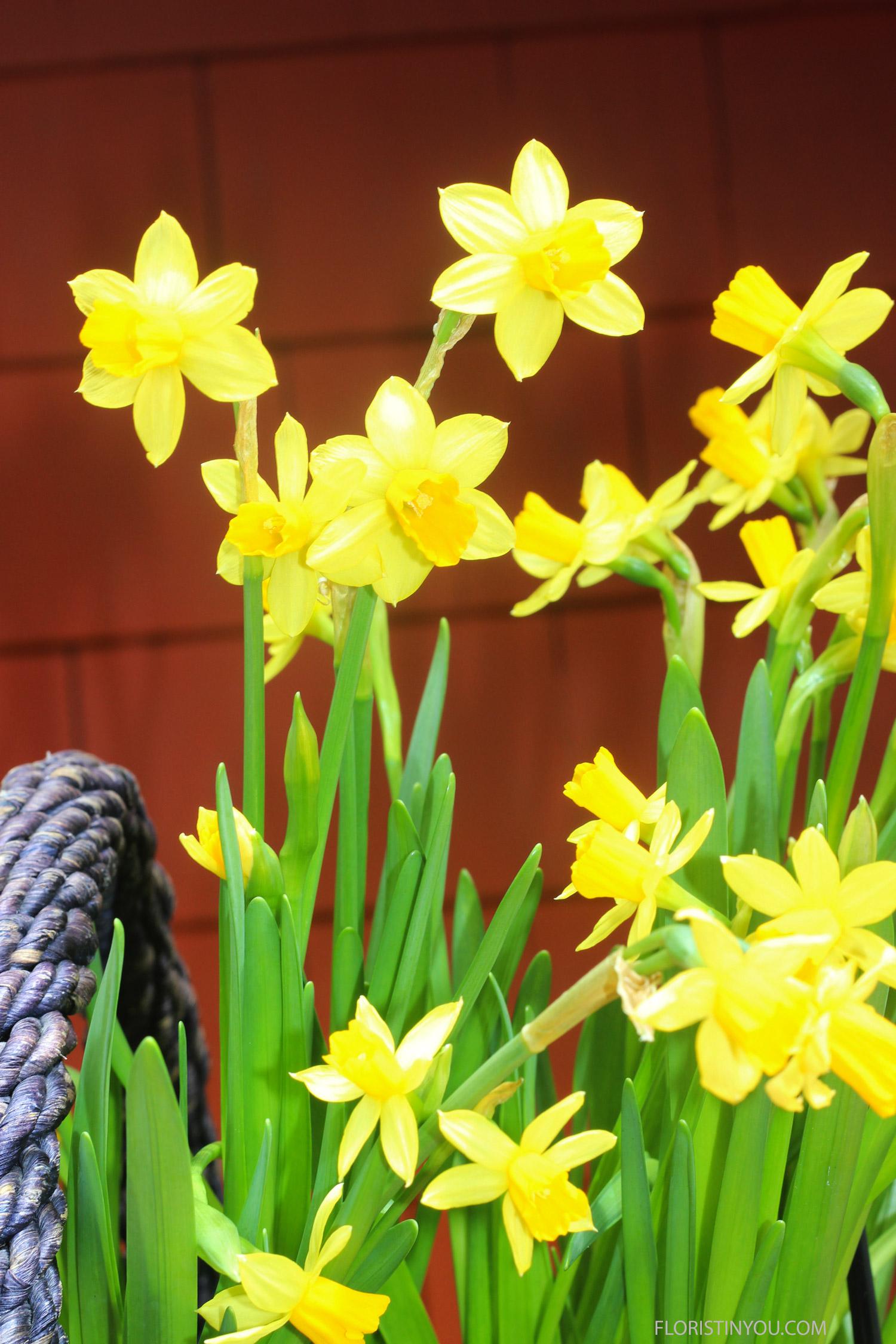 And Mini Daffodils.
