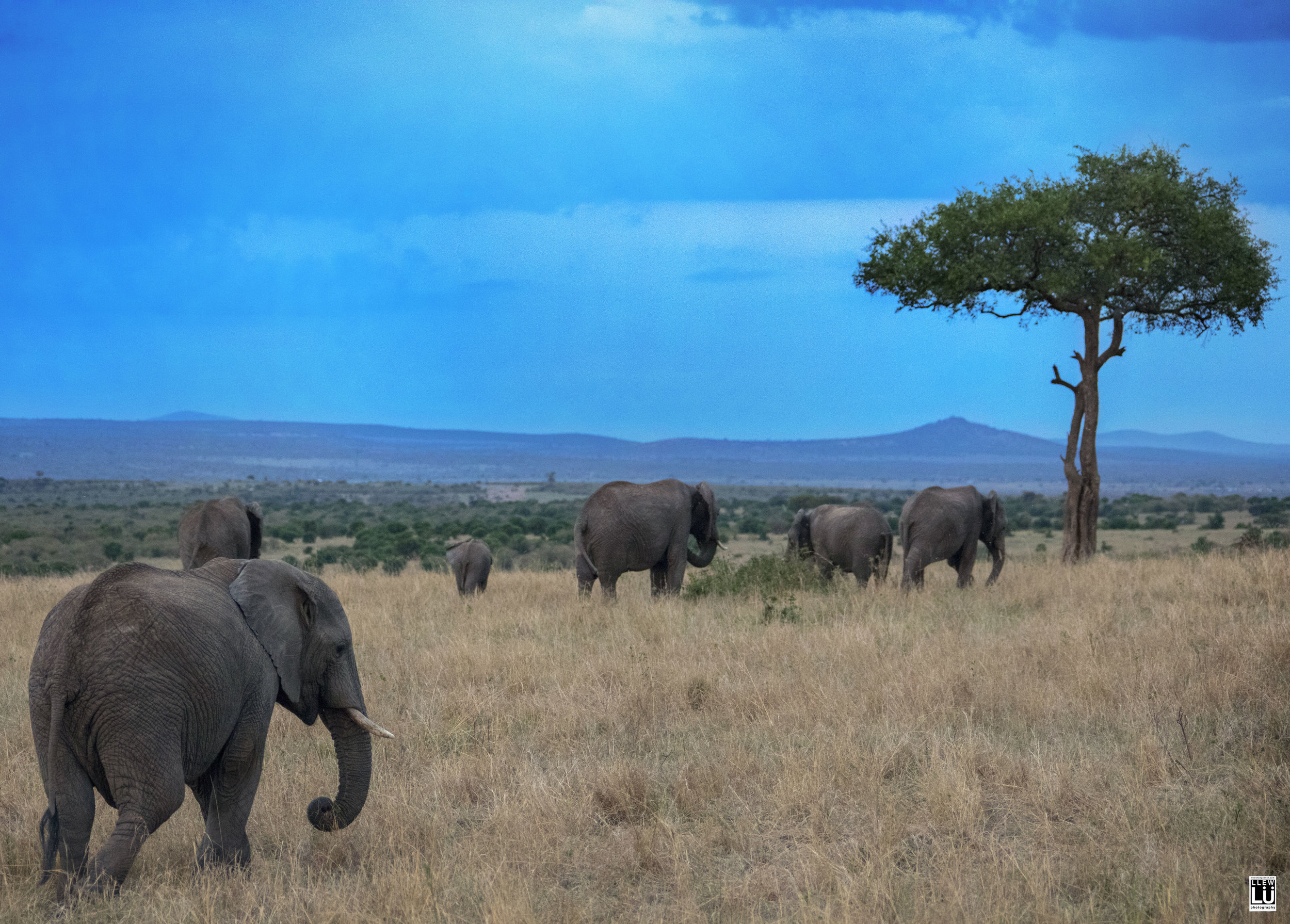 Elephants of Masai Mara.
