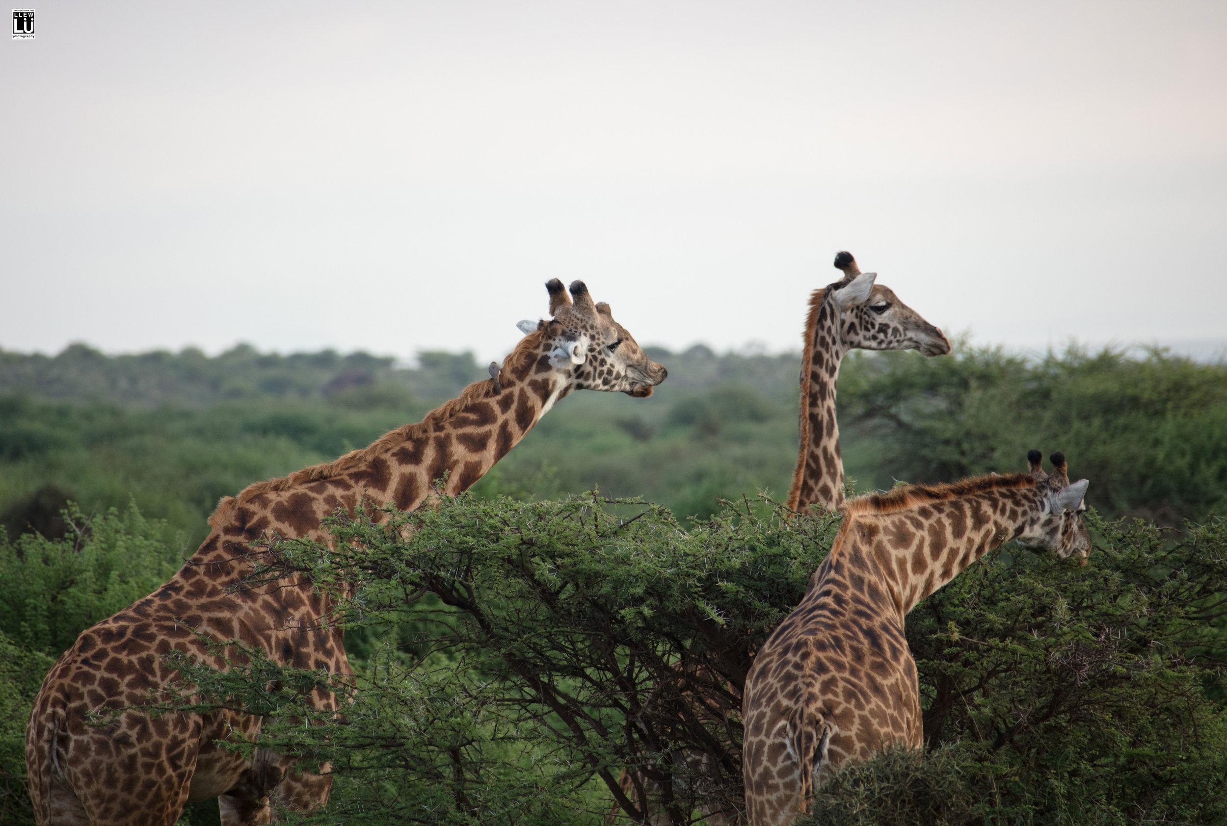 Giraffes at the Amboseli.