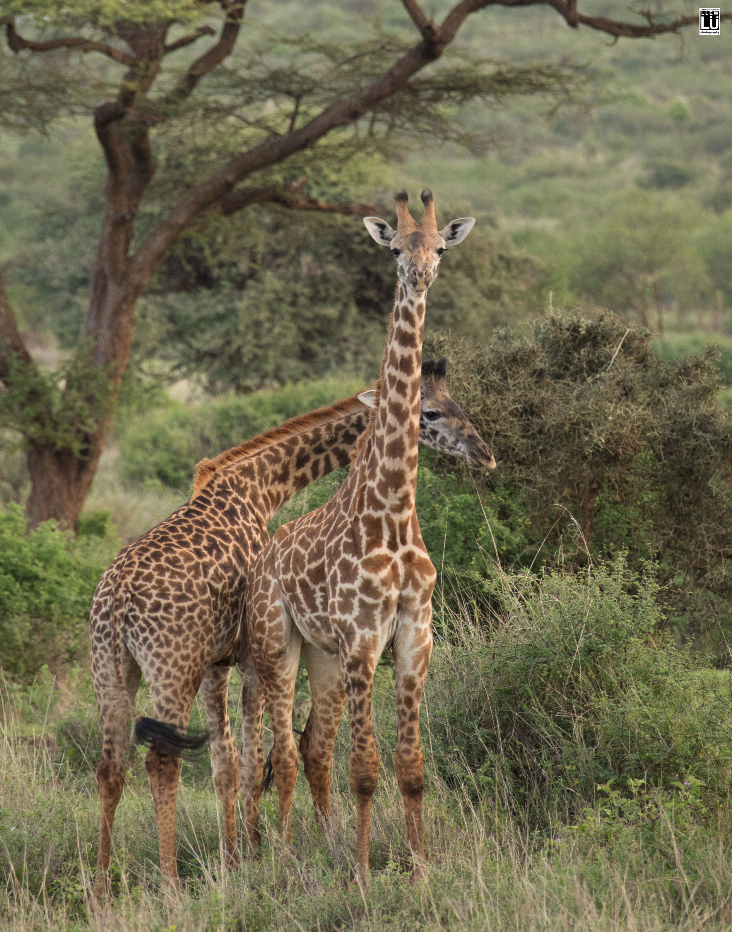 Amboseli giraffes.