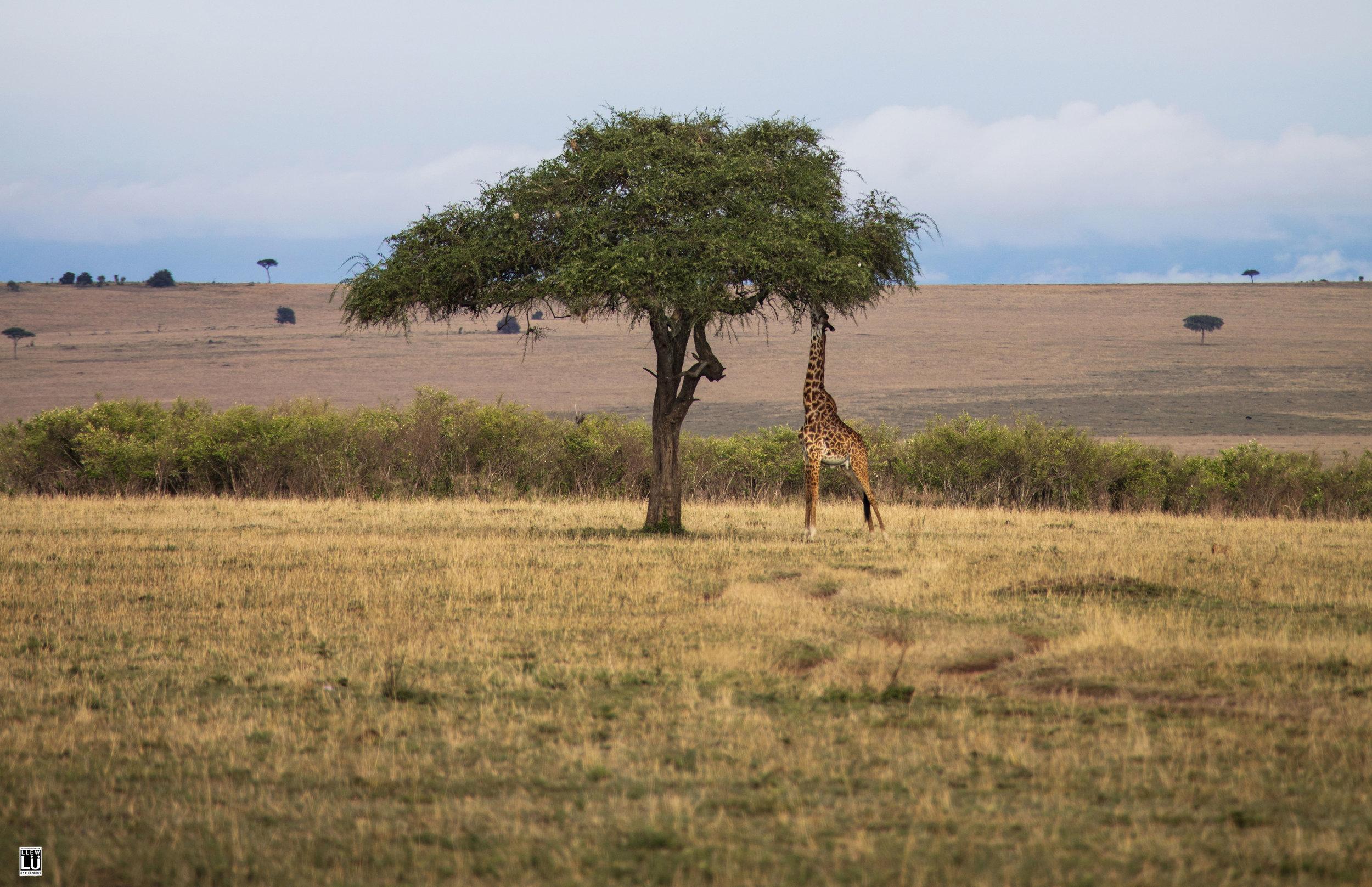 Masai Mara giraffe.