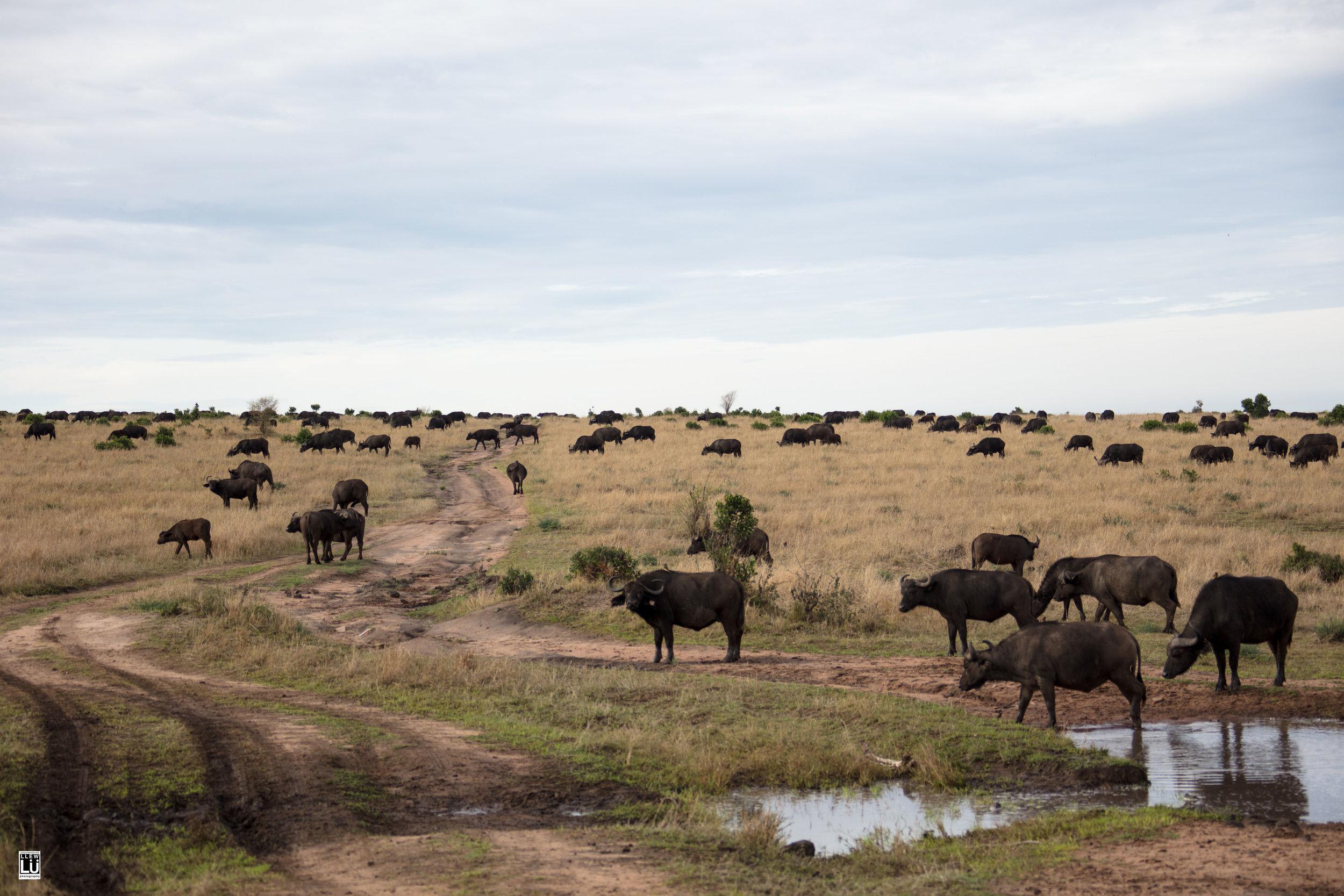 Buffalo of Masai Mara.