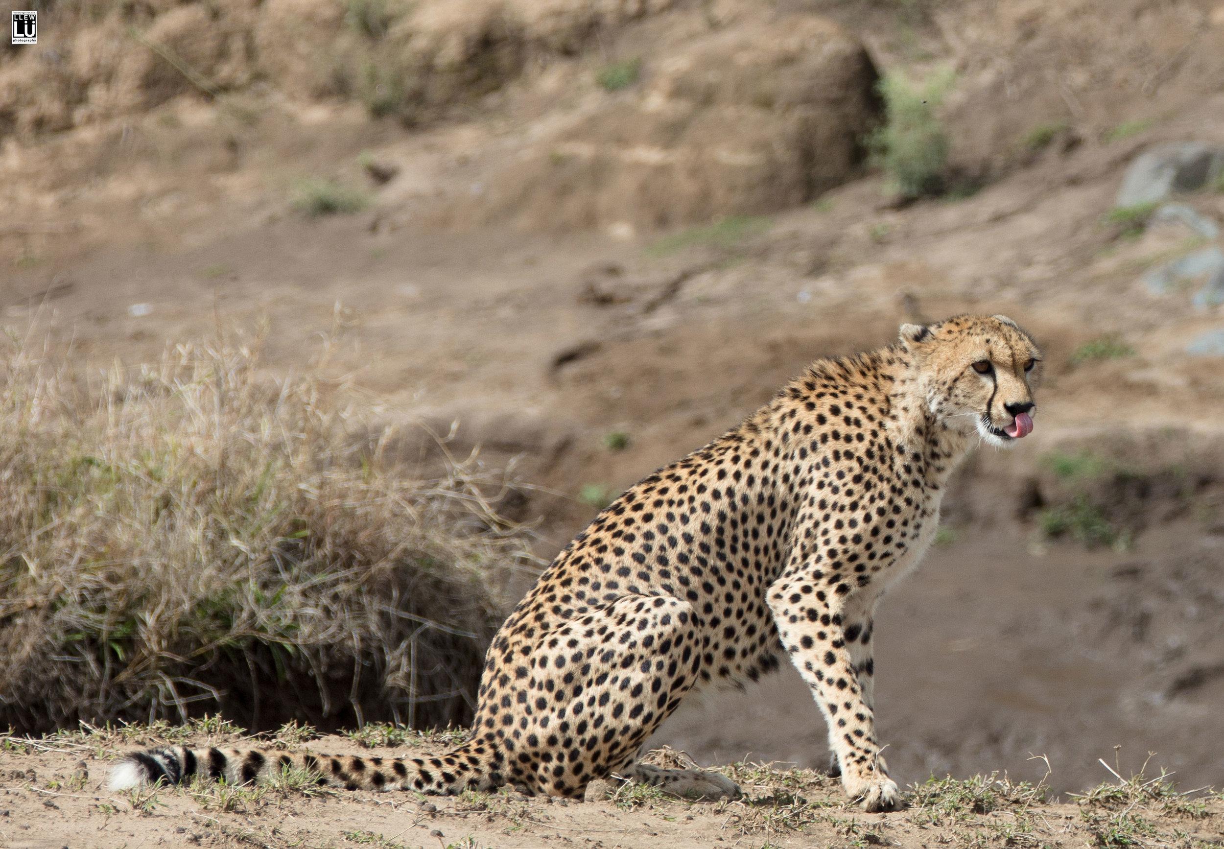A cheetah in Masai Mara.