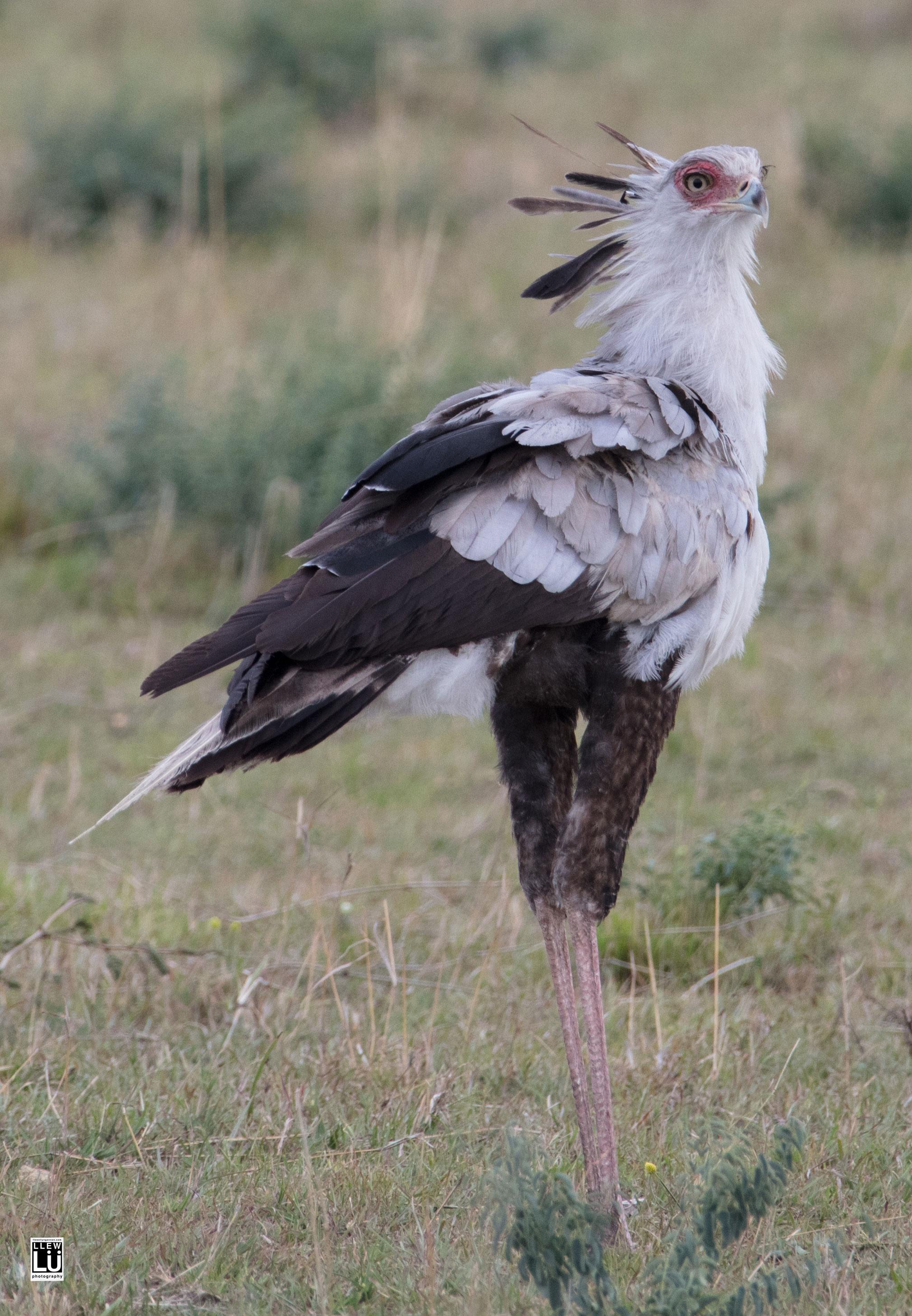 Secretary bird of the Amboseli.
