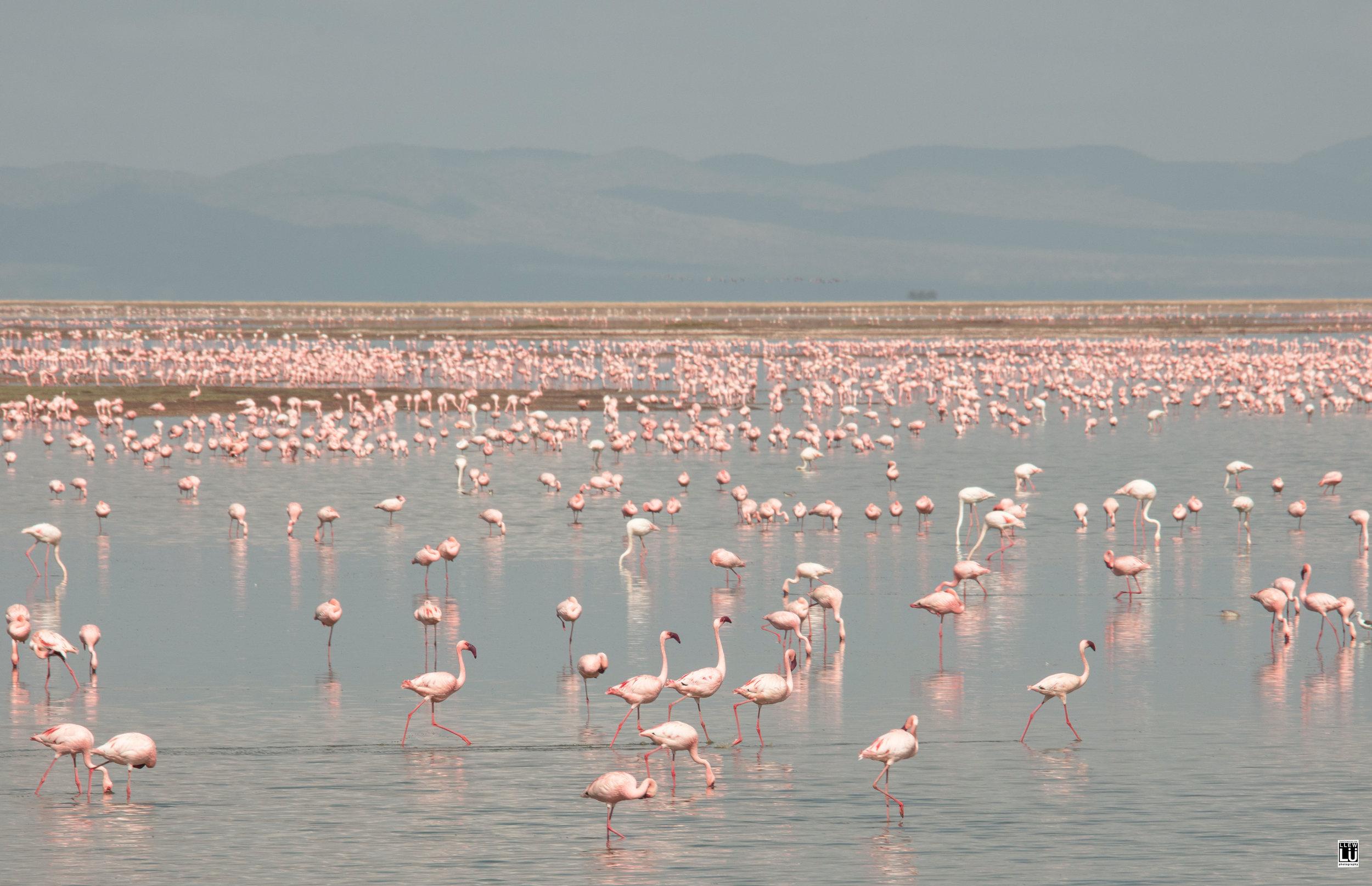 Pink flamingos at the Amboseli National Park.