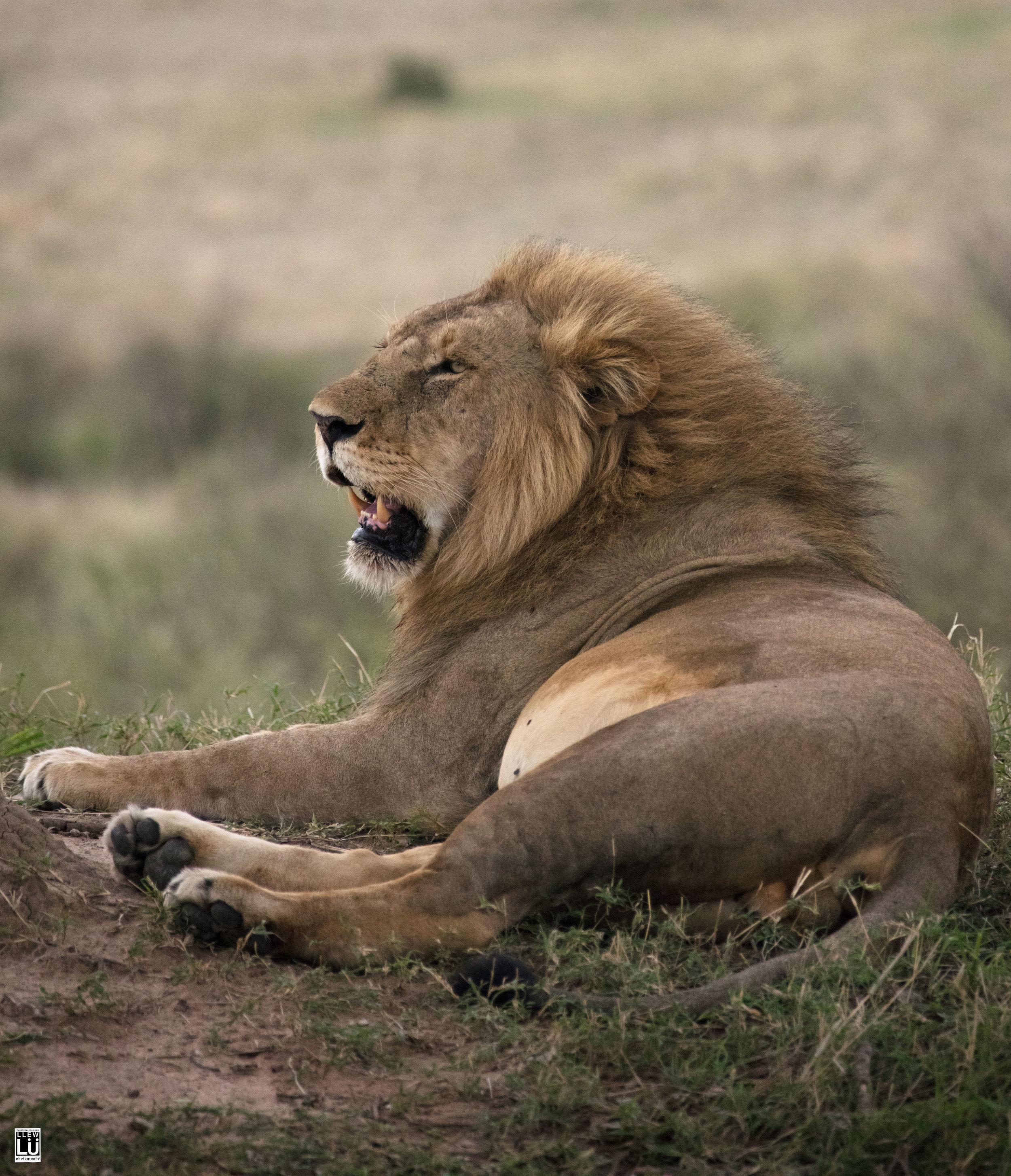 A lone, male lion in Masai Mara.