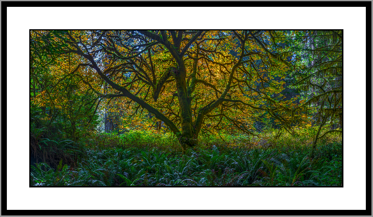redwood_state_park_oak_tree_autumn.jpg