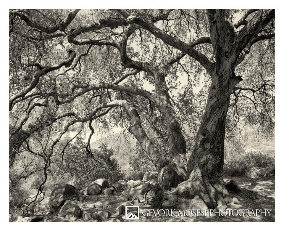 Oak Tree, Mission Trails Regional Park, Chaminix 45n-1 with Rodenstock 90mm, Tmax 100 4x5