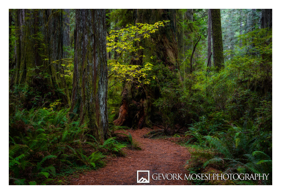 gevork_mosesi_photography_landscape_california_redwood_state_park_autumn_tree_trees_redwoods_leaves_yellow-1.jpg