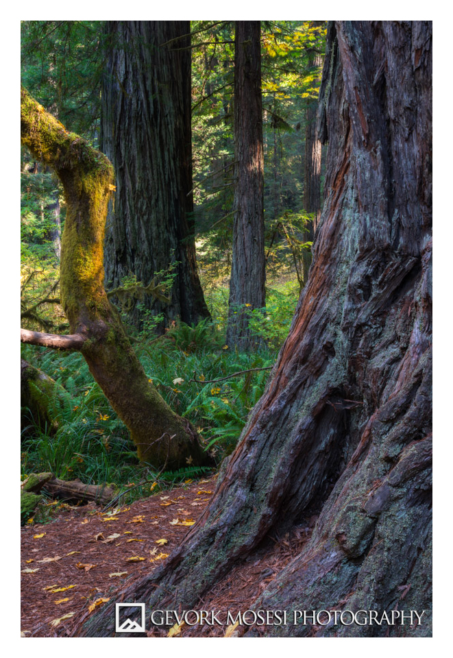 gevork_mosesi_photography_landscape_redwood_state_park_california_autumn_fall_leaves_trees-1.jpg