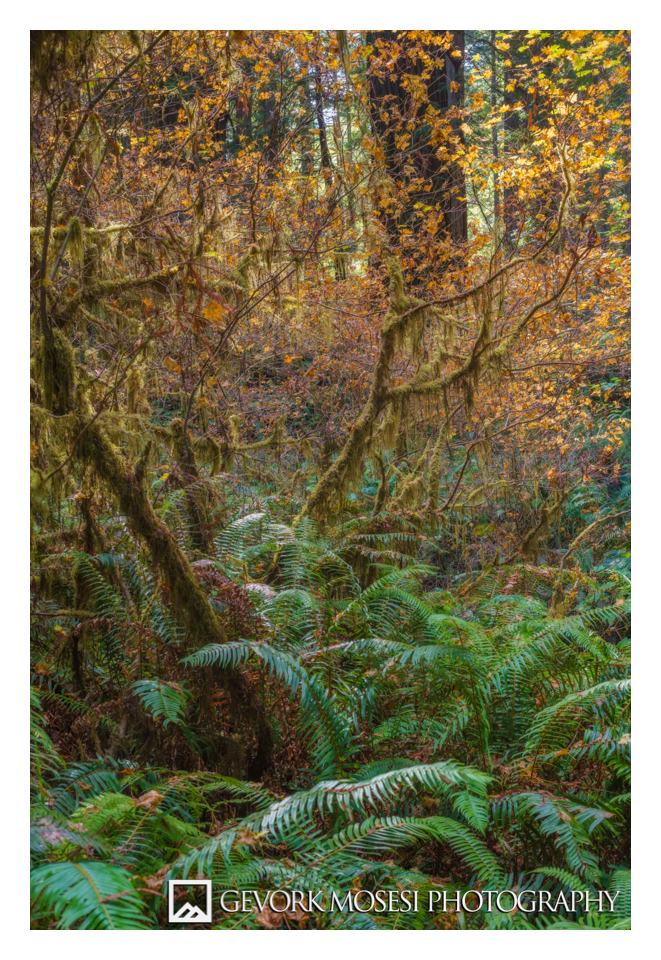 gevork_mosesi_photography_redwood_state_park_autumn_fall_fern-1.jpg