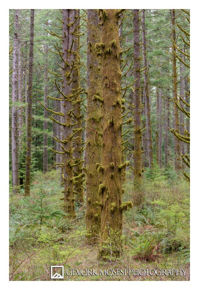 gevork_mosesi_photography_silver_falls_state_park_oregon_spruce_tree_trees_waterfall_moss_trail_portland_landscape-3.jpg