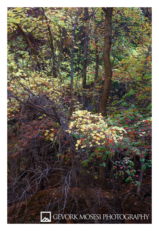 Gevork_mosesi_photography_zion_national_park_autumn_fall_color_colors_maple_tree_trees_brush-1.jpg