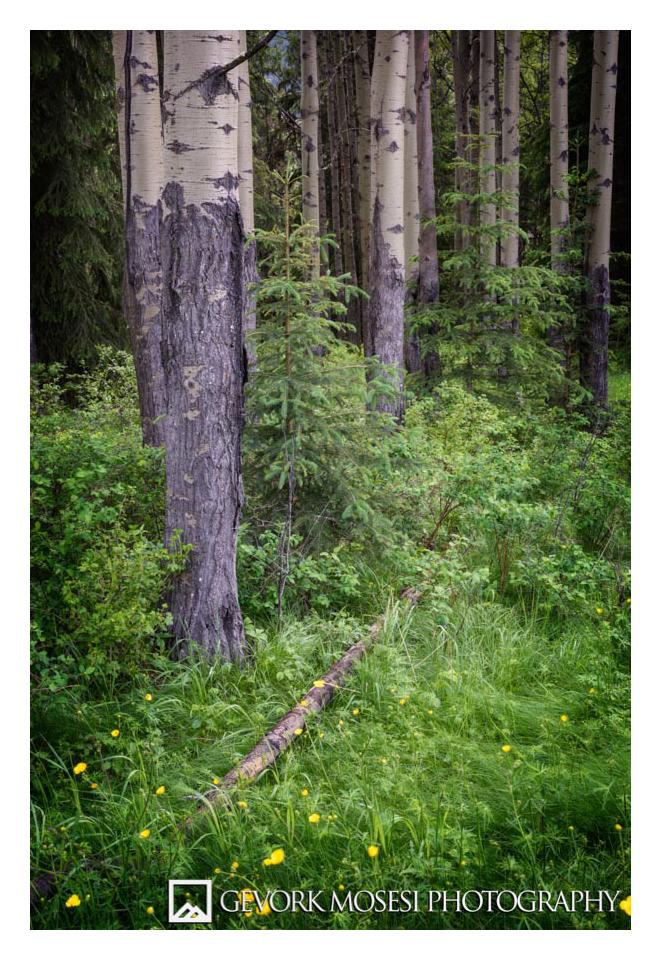 Gevork_mosesi_photography_landscape_banff_alberta_aspen_tree_trees_canada_canadian_rockies-1.jpg