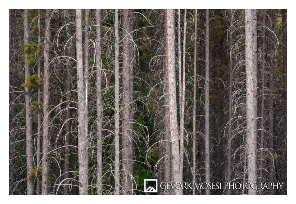 Gevork_mosesi_photography_landscape_banff_alberta_canada_canadian_rockies_trees_pine-3.jpg