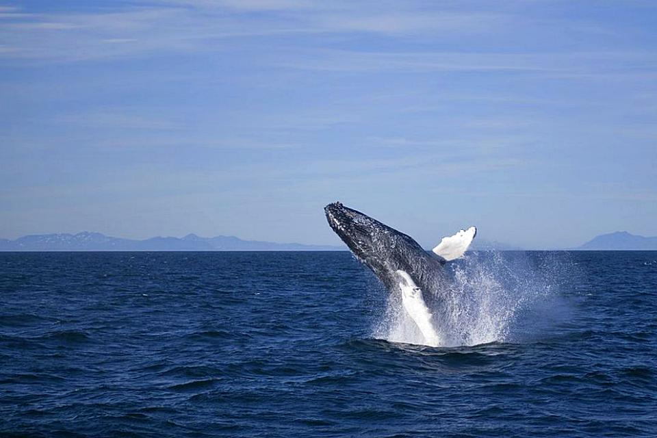 Year Round Reykjavik Classic Whale Watching - Whale WatchingWhale watching tour from Reykjavík. Join us for a chance to encounter the incredible whales and dolphins of Faxaflói bay.