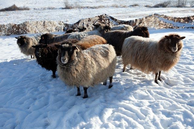 Fence-Sheep-Snow-167-Edit.jpg