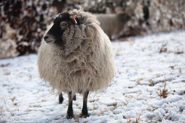 sheep fence-1056.jpg