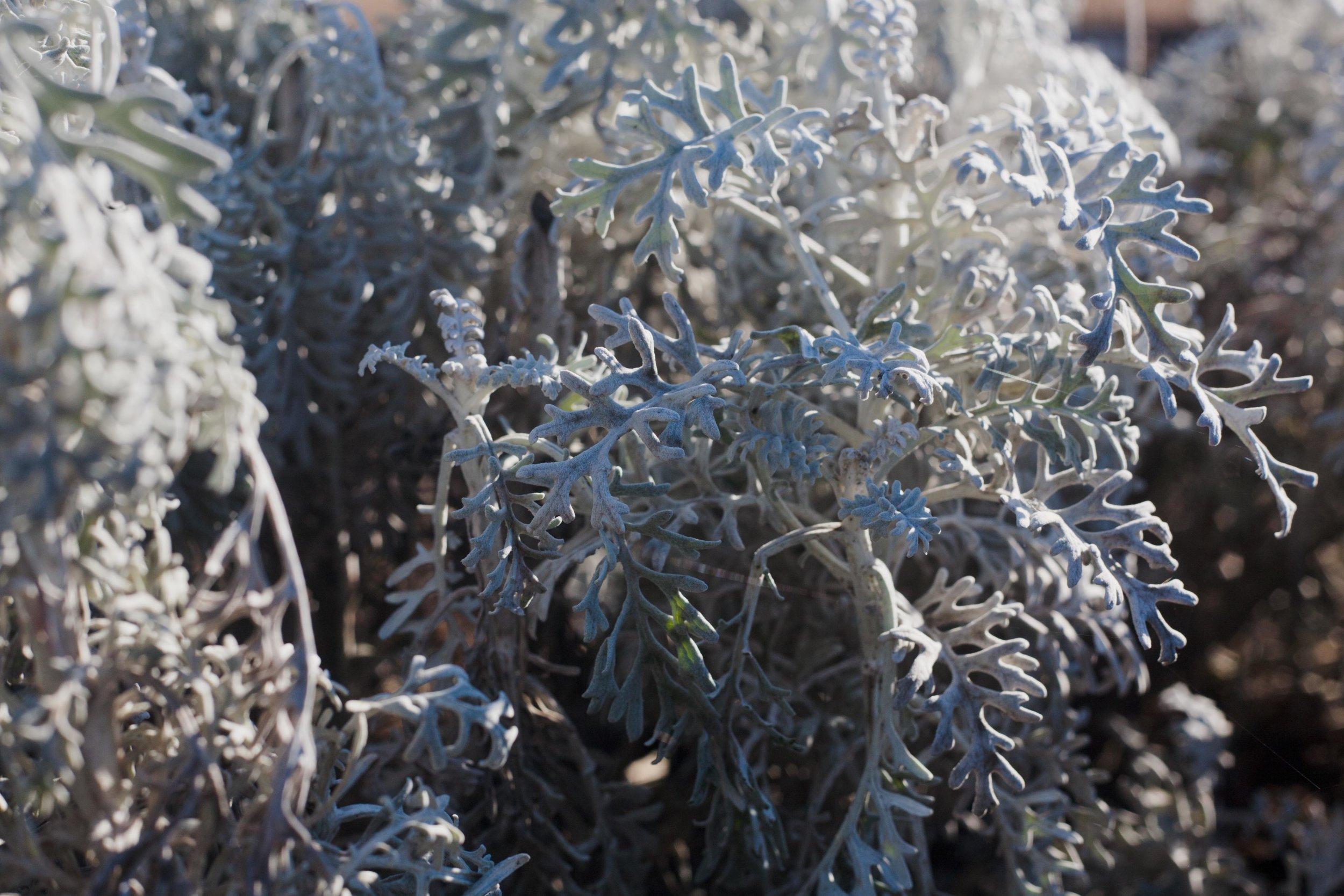"""Silver Dust"" -- a varietal of sage at fragrance garden"