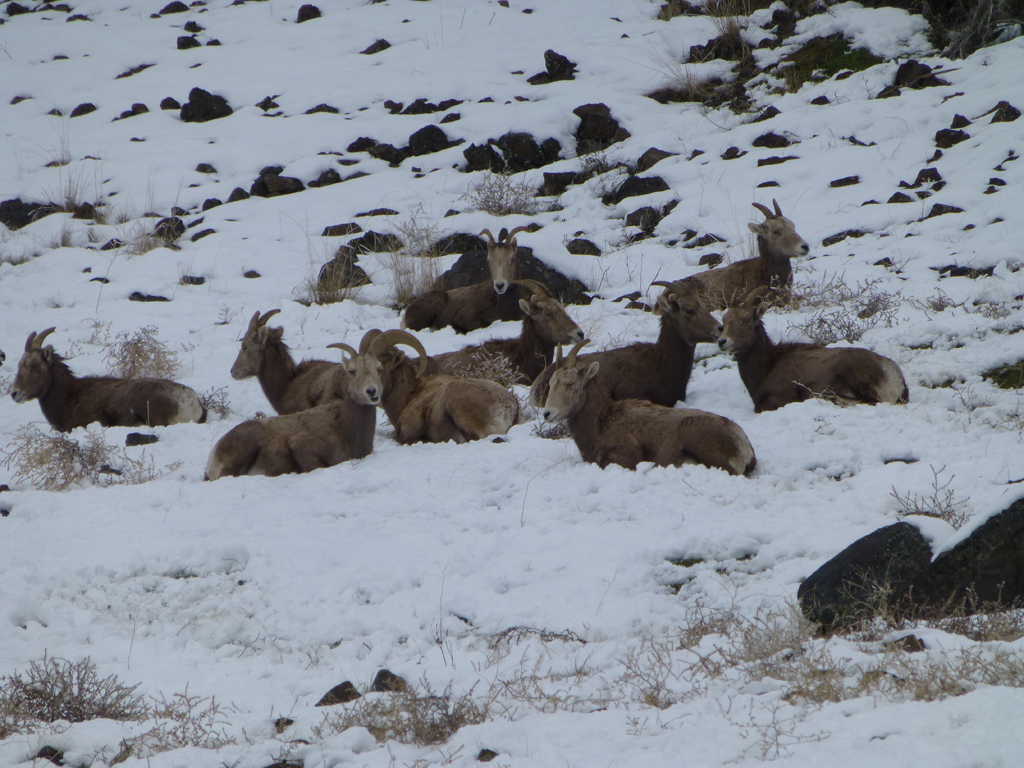 Visit to the elk & big horn sheep feeding stations