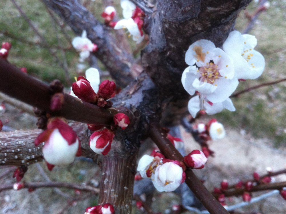 apricot+blossom.JPG
