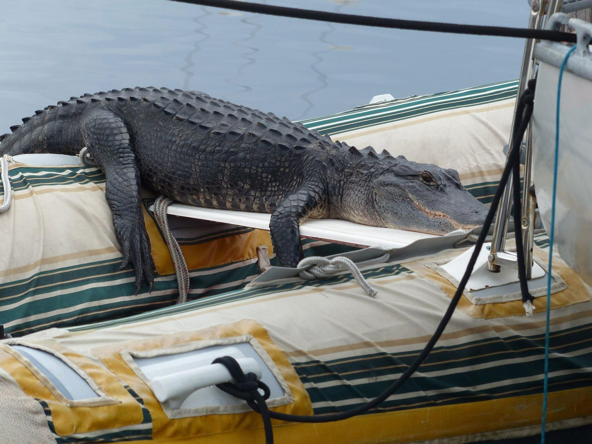 27 Alligator on Jack's Rib IMG_0082.png