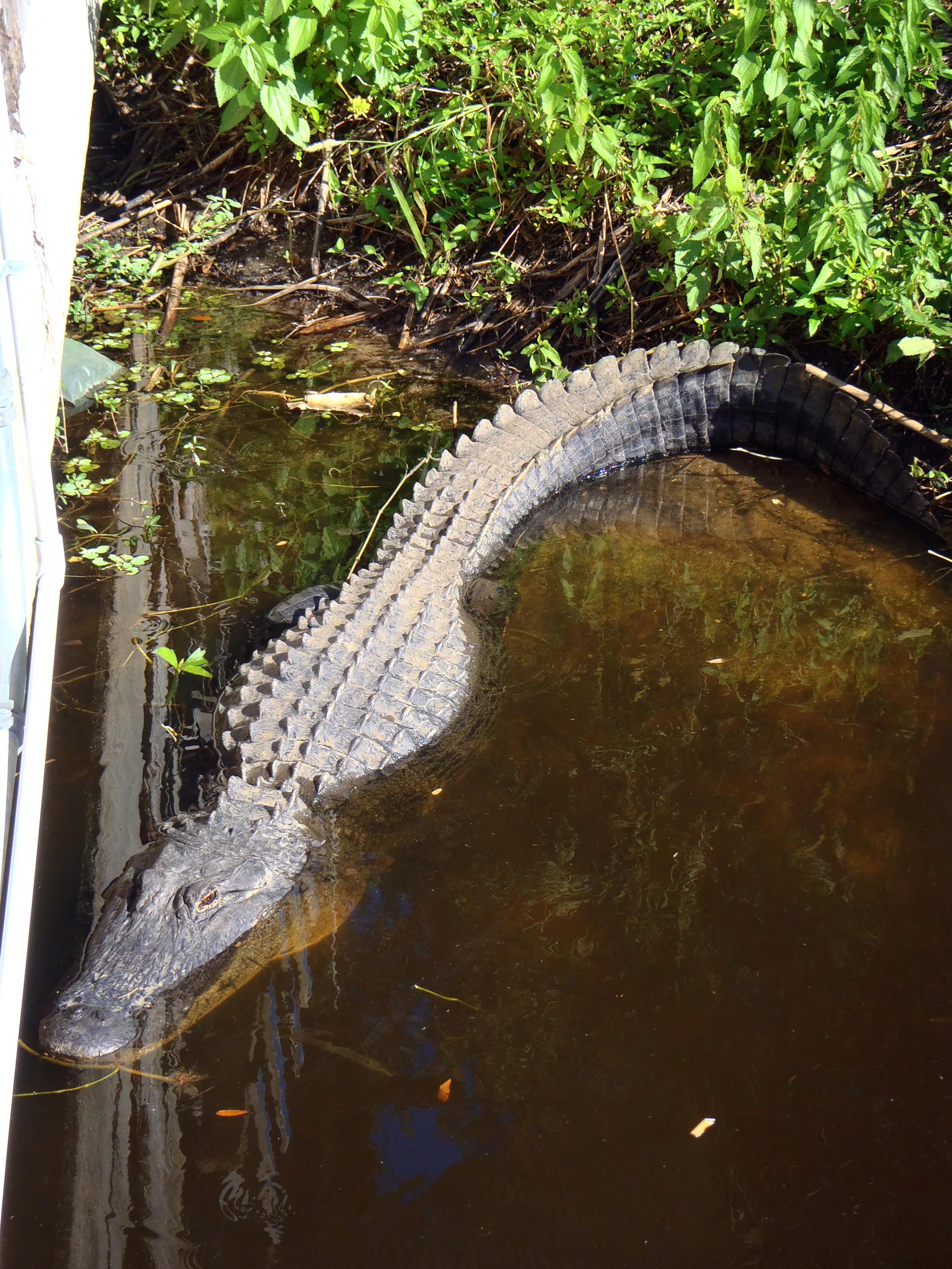 26 Alligator in Inidantown P1010021.png