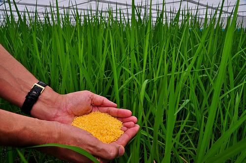 Golden Rice enthält die genetische Bauanleitung für das Eiweiss beta-Carotin, den Vorläufer von Vitamin A (Foto: IRRI)