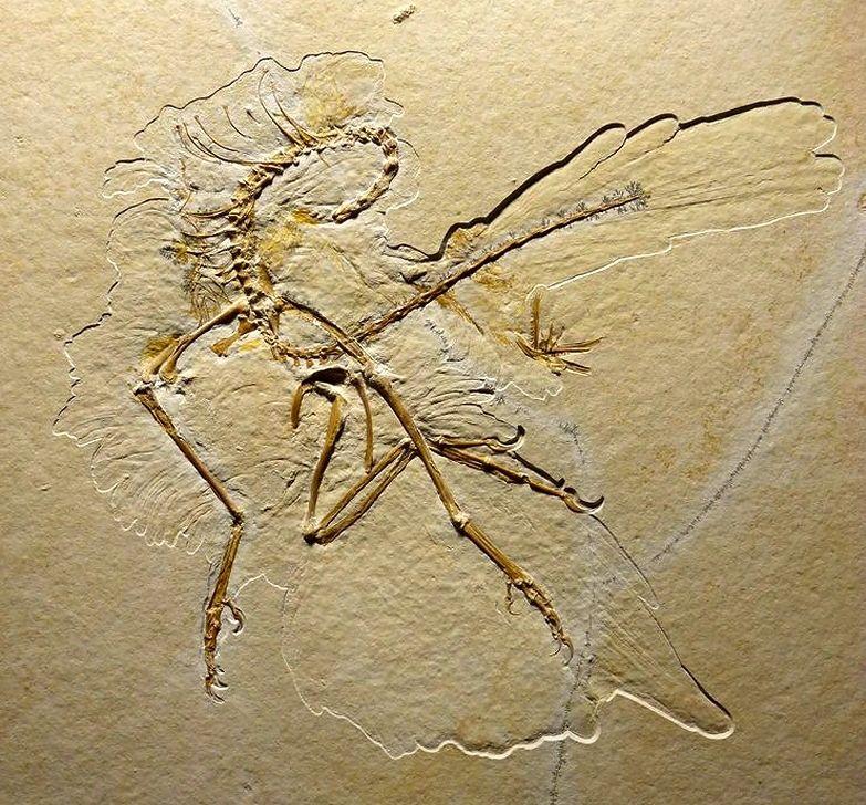 Jüngster Fossilienfund eines Archaeopteryx mit perfekt erhaltenen Federabdrücken. Quelle: Nature