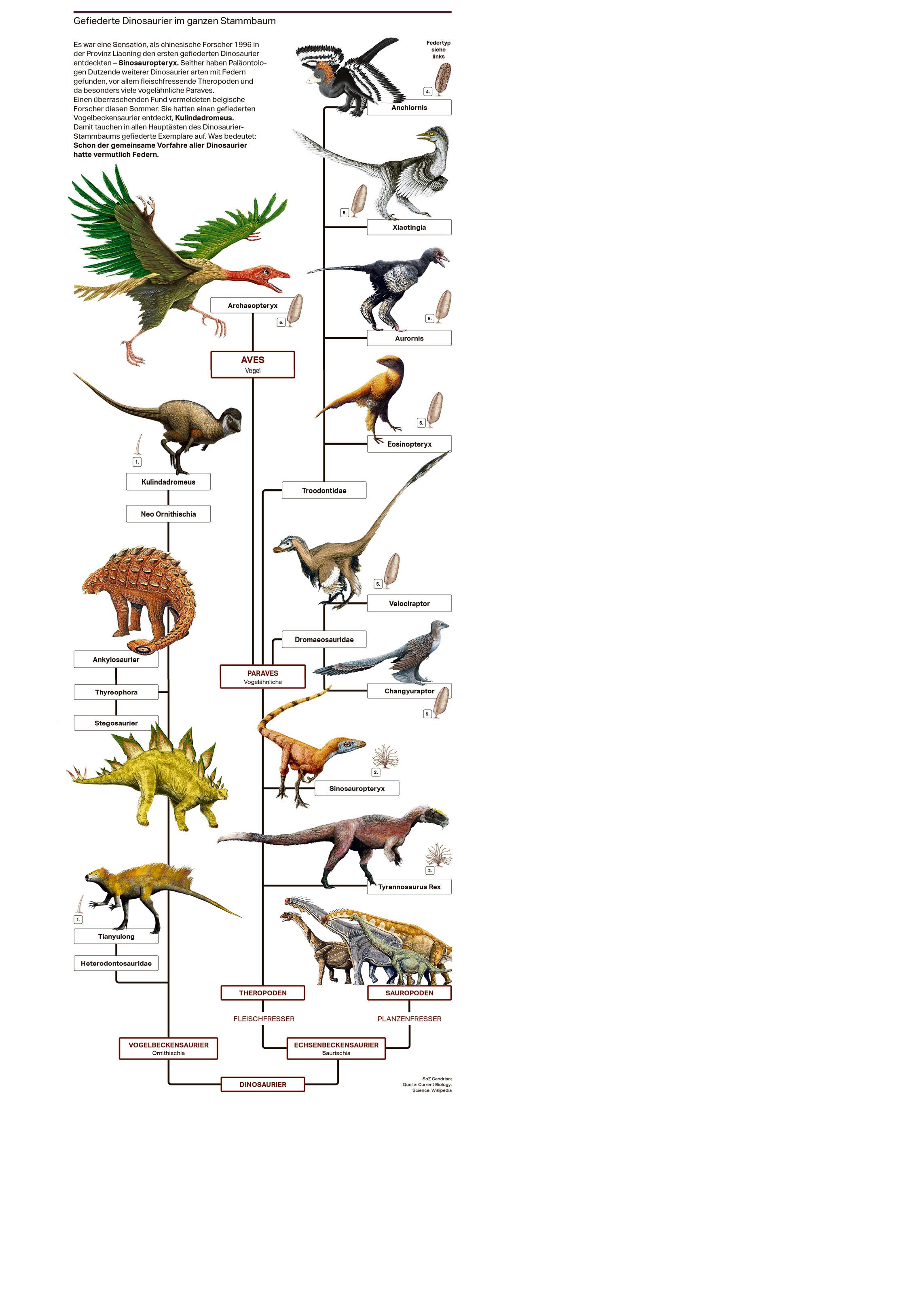 Gefiederte Dinosaurier im ganzen Stammbaum  Es war eine Sensation, als chinesische Forscher 1996 in der Provinz Liaoning den ersten gefiederten Dinosaurier entdeckten – Sinosauropteryx. Seither haben Paläontologen Dutzende weiterer Dinosaurier arten mit Federn gefunden, vor allem fleischfressende Theropoden und da besonders viele vogelähnliche Paraves. Einen überraschenden Fund vermeldeten belgische Forscher diesen Sommer: Sie hatten einen gefiederten Vogelbeckensaurier entdeckt, Kulindadromeus. Damit tauchen in allen Hauptästen des Dinosaurier- Stammbaums gefiederte Exemplare auf. Was bedeutet: Schon der gemeinsame Vorfahre aller Dinosaurier hatte vermutlich Federn.