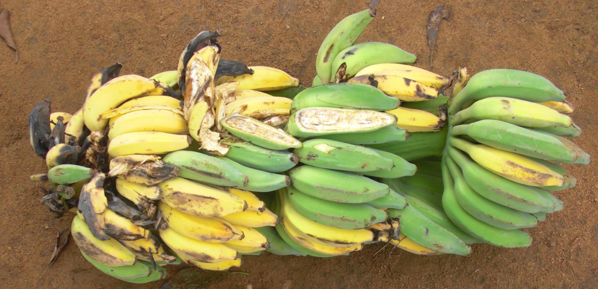 Von Xanthomonas Bakterien befallene Bananenbäume müssen umgetan werden