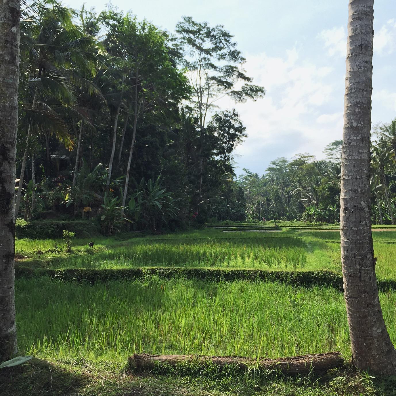 Rice paddies near Ubud.