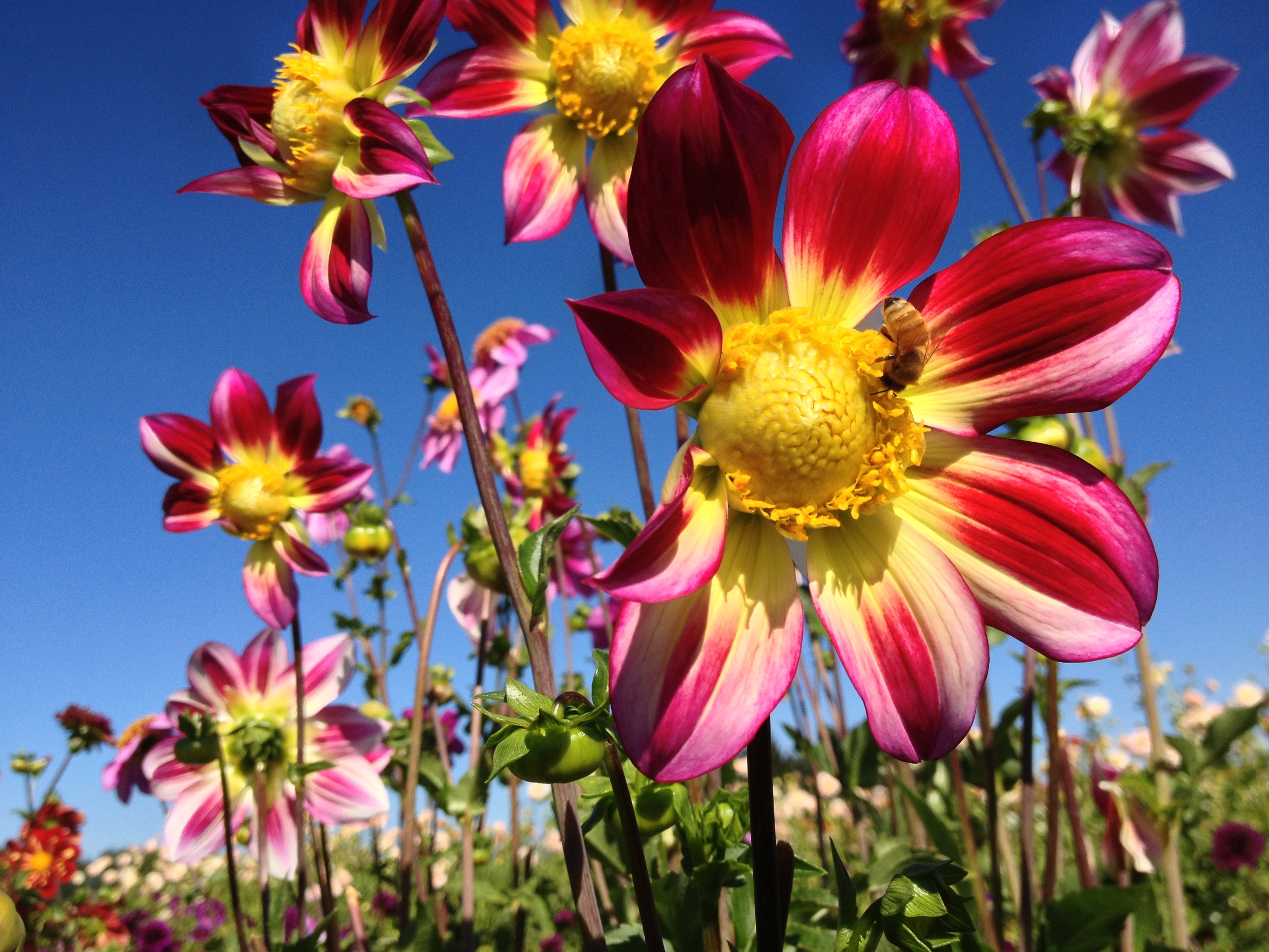 Flowers in Canby OR.JPG