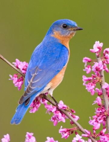 bluebird_small.jpg