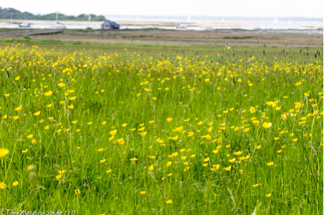 newtown buttercups.jpg