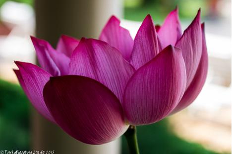 lotus bloom start.jpg
