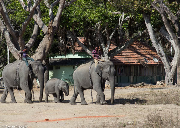 Elephants used for transport Bandipur Tiger Reserve