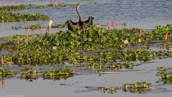 Indian Darter on Kerala Backwaters