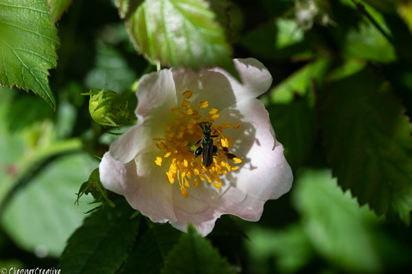 Fat-legged Garden Beetle on a Briar Rose