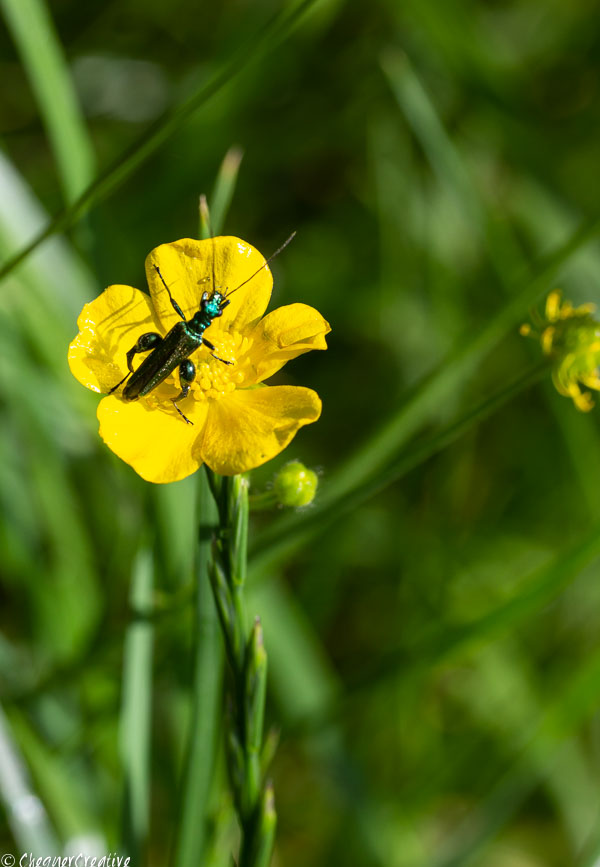 Fat-legged Garden Beetle on a Buttercup