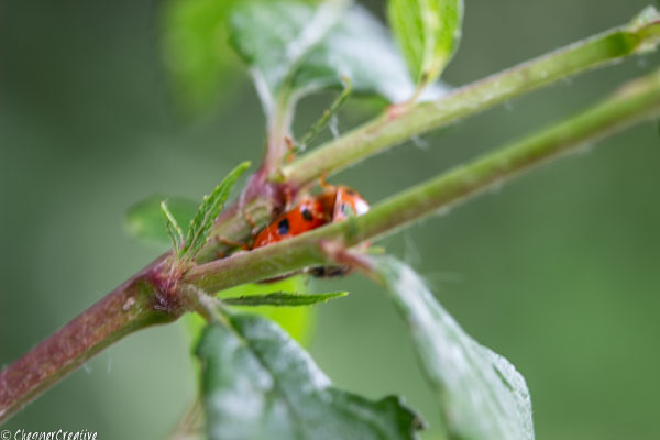 - Stages of the ladybird's life cycle:Mating