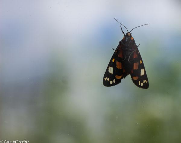 Scarlet Tiger Moth?