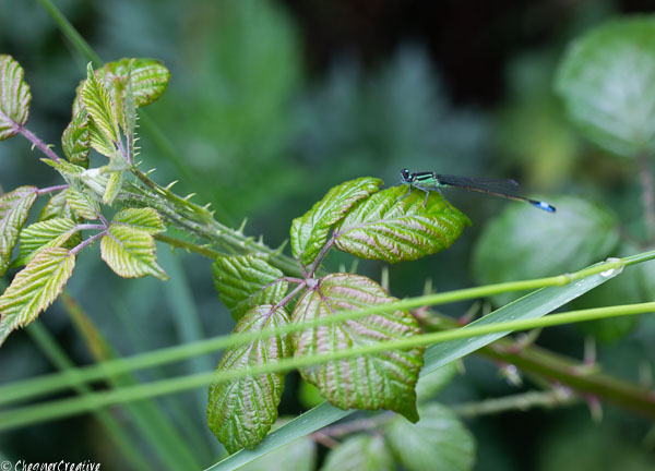 Damsel Fly Taking a Beak
