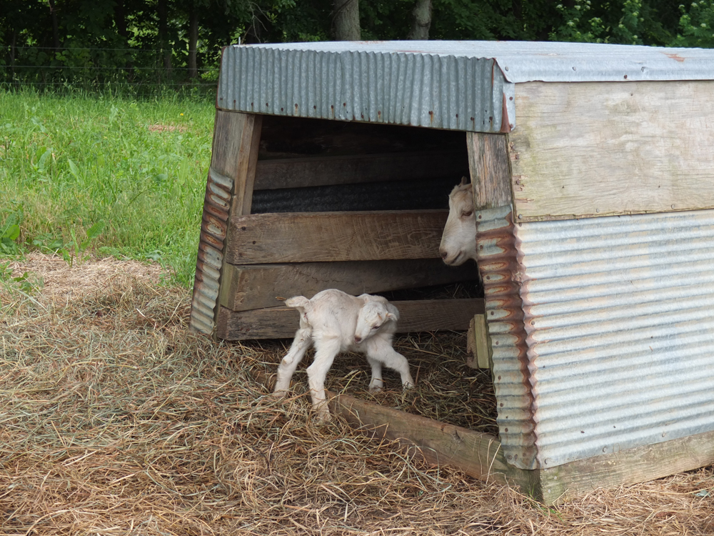 Mama goat and baby goats,